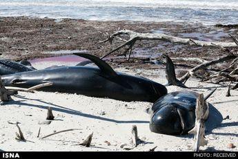 مرگ ۲۵ نهنگ در سواحل فلوریدا