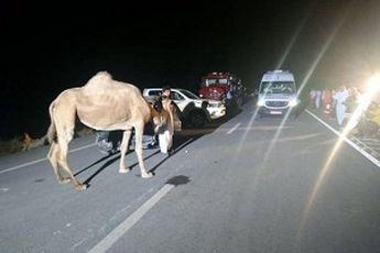 تصادف با شتر 5 مصدوم بر جای گذاشت