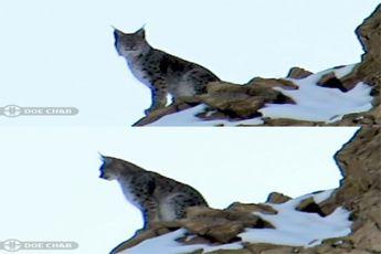 گونه کمیاب سیاهگوش ثبت ملی شد