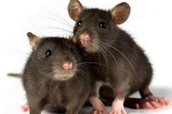 کاهش ۷۰ درصدی موش های پایتخت در نیمه نخست سال ۹۳