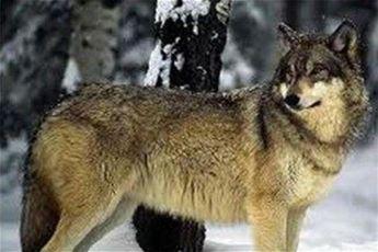 گرگ ها ۶ کودک راخوردند، سر یوزپلنگ ایرانی به سلامت