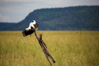 «پلنگ در حال شکار لکلک» برنده مسابقه عکس طبیعت نشنال جئوگرافیک