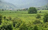 ارزش 175 میلیارد تومانی چای تولیدی شمال تاکنون