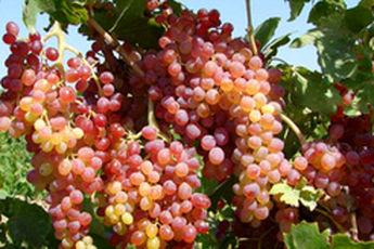 تنظیم فعالیت کبد با مصرف انگور