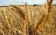 خرید تضمینی گندم داخلی از مرز ۵۷۰ هزار تن فراتر رفت