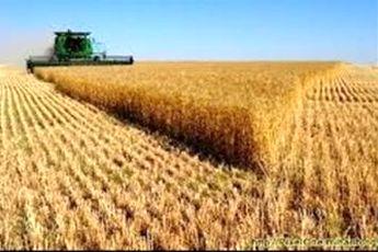 کاهش ۱.۵ میلیون تنی تولید گندم ایران در سال زراعی جاری