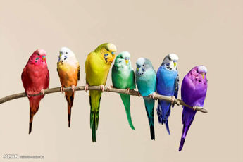 پرورش پرندگان زینتی در استان بوشهر گسترش مییابد